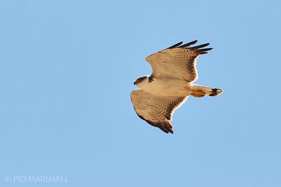 Aguilucho común |  Geranoaetus polyosoma  |  Variable Hawk