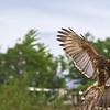 Peuco | Parabuteo unicinctus | Harris's Hawk