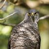 Peuquito | Accipiter bicolor | Bicolored Hawk