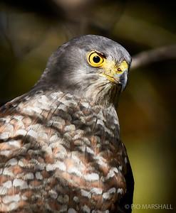 Peuquito    Accipiter bicolor     Bicolored Hawk