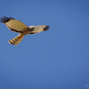 Vari ceniciento    Circus cinereus     Cinereous Harrier