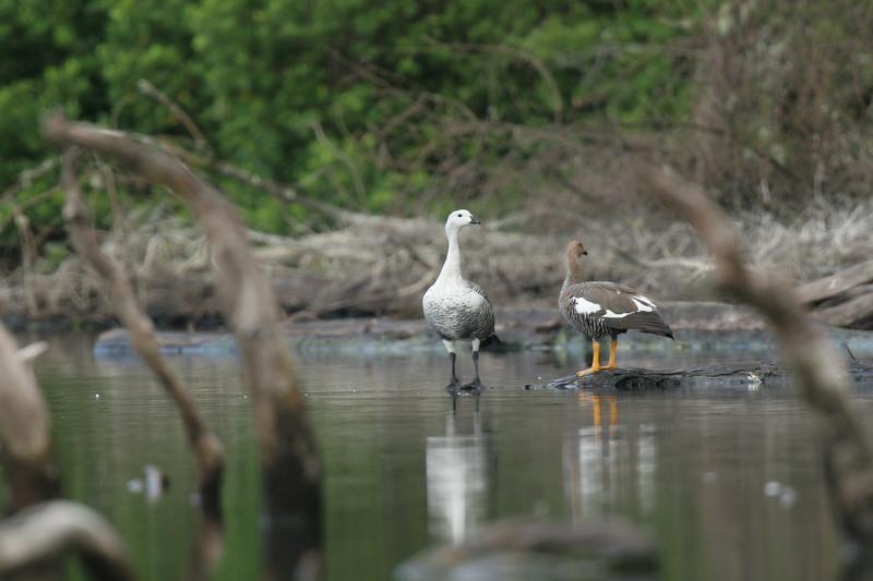 Caiquén   Chloephaga picta   Upland Goose