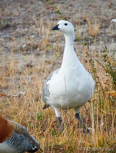 Caiquén |  Chloephaga picta  |  Upland Goose
