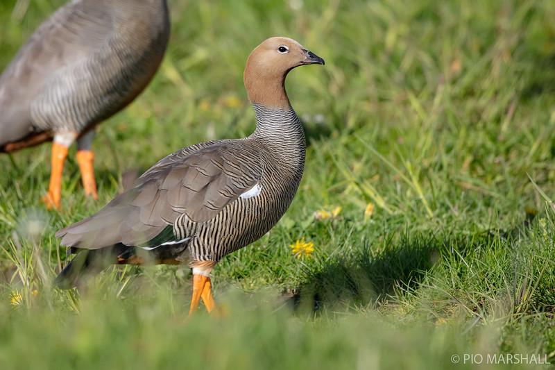 Canquén colorado    Chloephaga rubidiceps     Ruddy-headed Goose