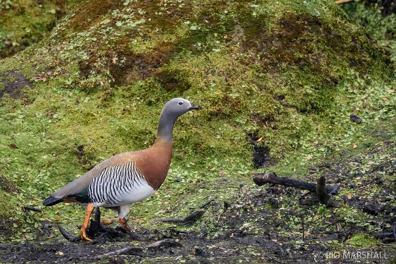 Canquén común    Chloephaga poliocephala     Ashy-headed Goose
