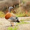 Canquén común | Chloephaga poliocephala | Ashy-headed Goose