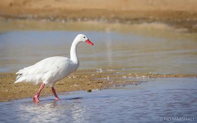Cisne coscoroba    Coscoroba coscoroba     Coscoroba Swan