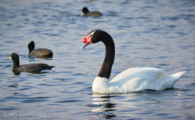 Cisne de cuello negro |  Cygnus melancoryphus  |  Black-necked Swan