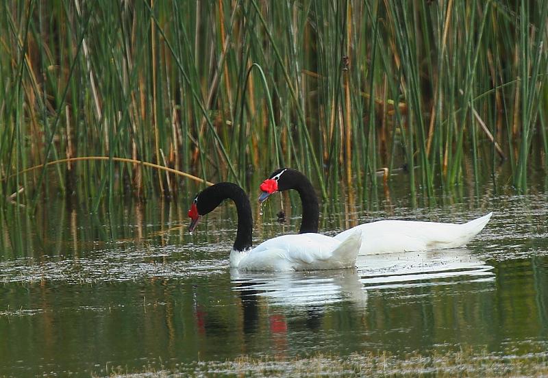 Cisne de cuello negro    Cygnus melancoryphus     Black-necked Swan