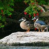 Pato anteojillo    Speculanas specularis     Spectacled Duck