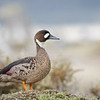 Pato anteojillo |  Speculanas specularis  |  Spectacled Duck