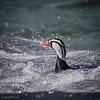 Pato cortacorrientes |  Merganetta armata  |  Torrent Duck