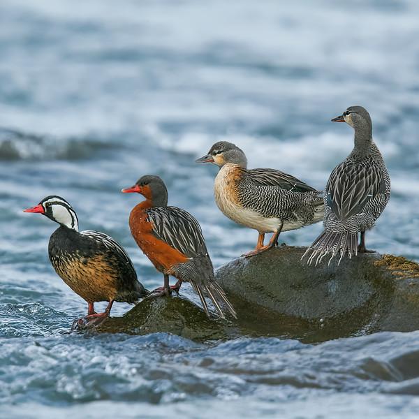 Pato cortacorrientes    Merganetta armata     Torrent Duck