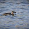 Pato de alas azules |  Spatula discors  |  Blue-winged Teal