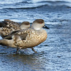 Pato juarjual |  Lophonetta specularioides  |  Crested Duck
