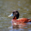 Pato rana de pico ancho |  Oxyura ferruginea  |  Andean Duck