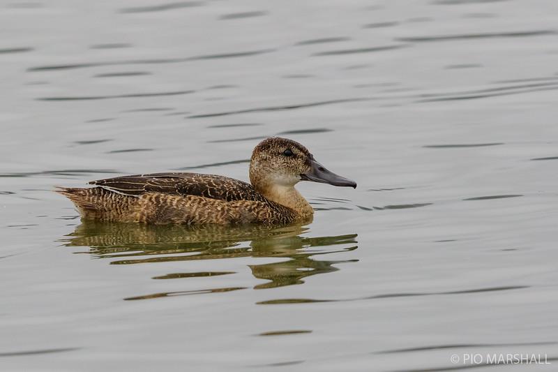 Pato rinconero |  Heteronetta atricapilla  |  Black-headed Duck