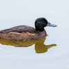 Pato rinconero |  Heteronetta atricapilla  |  Black-headed Duck
