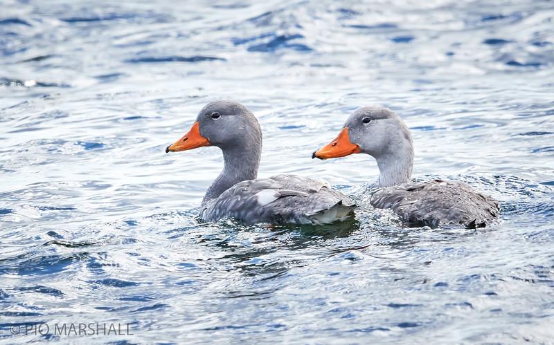 Quetru no volador |  Tachyeres pteneres  |  Flightless Steamer-Duck