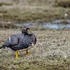 Quetru volador |  Tachyeres patachonicus  |  Flying Steamer-Duck