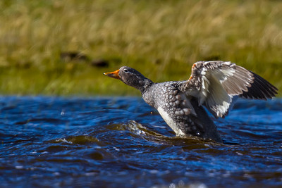 Quetru volador    Tachyeres patachonicus     Flying Steamer-Duck