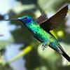 Picaflor azul | Colibri coruscans | Sparkling Violetear