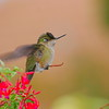 Picaflor chico | Sephanoides sephaniodes | Green-backed Firecrown
