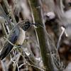 Picaflor de la puna | Oreotrochilus estella | Andean Hillstar