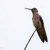 Picaflor gigante |  Patagona gigas  |  Giant Hummingbird