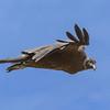 Cóndor | Vultur gryphus | Andean Condor