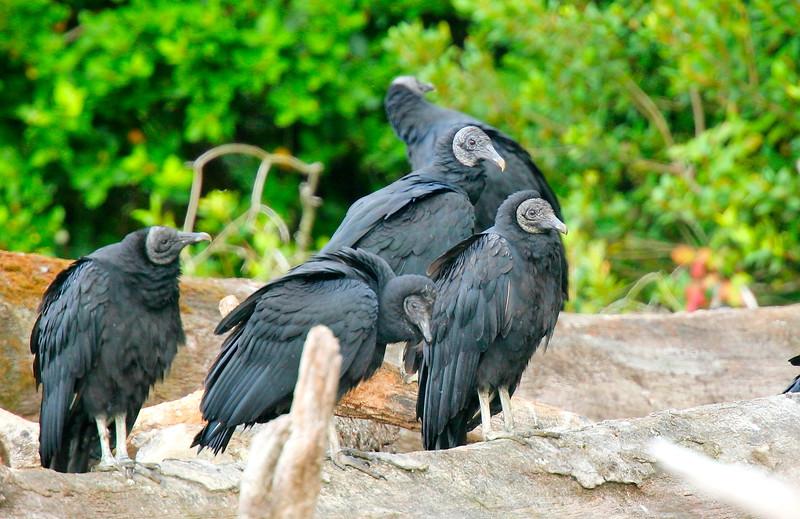 Jote de cabeza negra   Coragyps atratus   Black Vulture