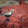 Chorlo ártico |  Pluvialis squatarola  |  Black-bellied Plover