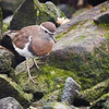 Chorlo chileno    Charadrius modestus     Rufous-chested Dotterel