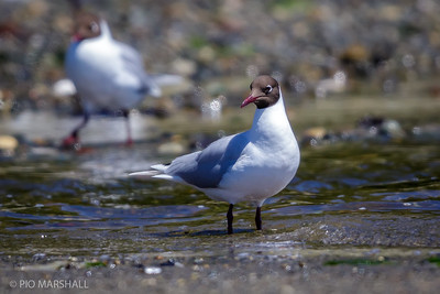 Gaviota cáhuil |  Chroicocephalus maculipennis  |  Brown-hooded Gull