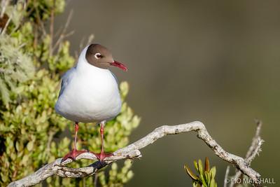 Gaviota cáhuil    Chroicocephalus maculipennis     Brown-hooded Gull