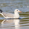 Gaviota de capucho gris | Chroicocephalus cirrocephalus | Gray-hooded Gull