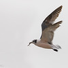 Gaviota de Franklin | Leucophaeus pipixcan | Franklin's Gull