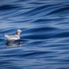 Gaviota de Sabine |  Xema sabini  |  Sabine's Gull