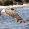Gaviota peruana   Larus belcheri   Belcher's Gull