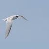 Gaviotín ártico | Sterna paradisaea | Arctic Tern