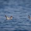Gaviotín boreal |  Sterna hirundo  |  Common Tern