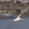 Gaviotín elegante   Thalasseus elegans   Elegant Tern