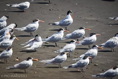 Gaviotín elegante |  Thalasseus elegans  |  Elegant Tern