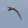 Gaviotín piquerito | Sterna trudeaui | Snowy-crowned Tern