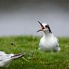 Gaviotín sudamericano |  Sterna hirundinacea  |  South American Tern