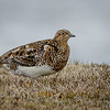 Perdicita austral |  Attagis malouinus  |  White-bellied Seedsnipe