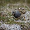 Perdicita cojón |  Thinocorus orbignyianus  |  Gray-breasted Seedsnipe