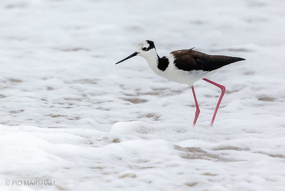 Perrito |  Himantopus mexicanus  |  Black-necked Stilt