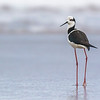 Perrito | Himantopus mexicanus | Black-necked Stilt