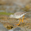 Pitotoy chico |  Tringa flavipes  |  Lesser Yellowlegs